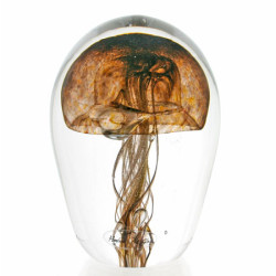 Jellyfishbrowngold11cm$180_600